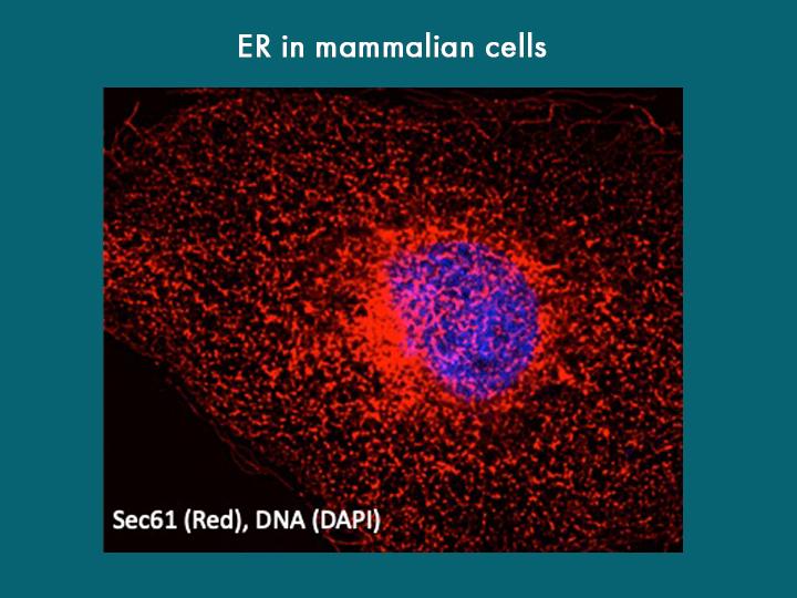 ER in mammalian cells